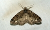 Brindled White-spot Copyright: Ben Sale
