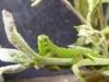 Poplar Hawk-moth caterpillar Copyright: Kathy Greenwood
