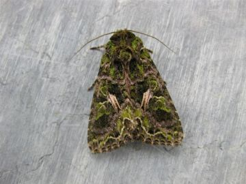 Orache Moth. Copyright: Stephen Rolls