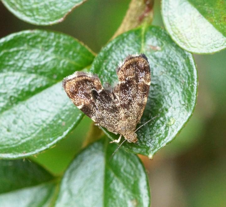 Anthophila fabriciana 1 Copyright: Ben Sale
