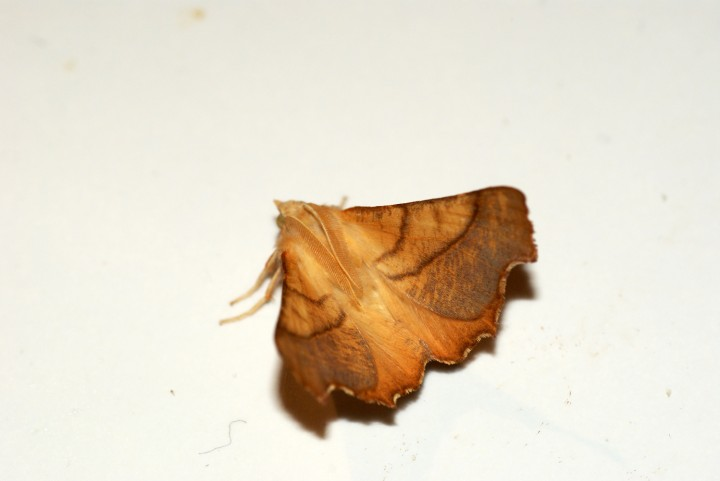 Dusky Thorn Copyright: Ben Sale