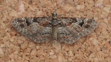 Double-striped Pug  Gymnoscelis rufifasciata Copyright: Graham Ekins