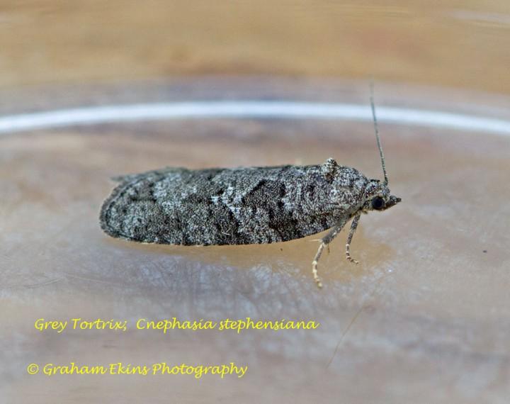 Cnephasia stephensiana  GD  (Grey Tortrix) Copyright: Graham Ekins