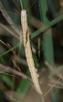 E mi larvae Copyright: Robert Smith