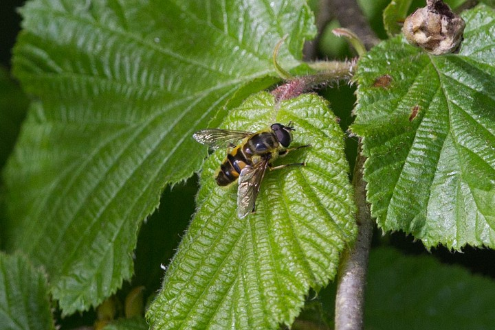 Myathropa florea 2 Copyright: Graham Ekins