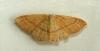 ClayTriple-lines  Cyclophora linearia Copyright: Graham Ekins