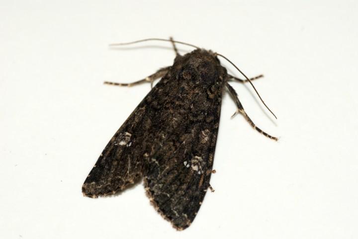 Cabbage Moth 2 Copyright: Ben Sale