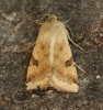 Bordered Straw  Heliothis peltigera  4 Copyright: Graham Ekins