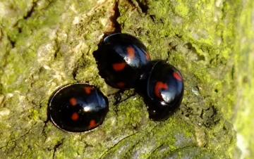 Pine Ladybirds Copyright: Peter Pearson