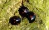 Pine Ladybirds Copyright: Peter Pearson