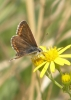 Brown argus butterfly Copyright: Sue Grayston
