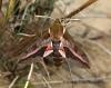 Spurge Hawk-moth  Hyles euphorbiae Copyright: Graham Ekins