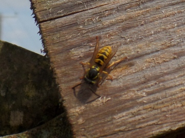 Common wasp Copyright: Fiona Hutchings