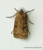 Six-striped Rustic  Xestia sexstrigata Copyright: Graham Ekins