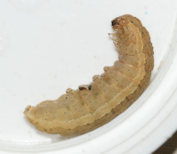 LYU - larvae Copyright: Robert Smith