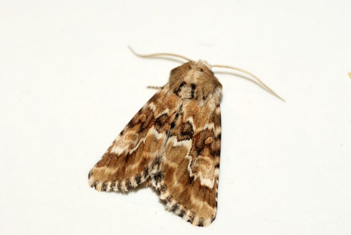 Dusky Sallow 2 Copyright: Ben Sale