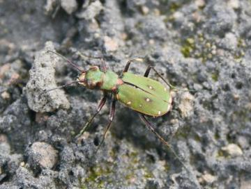 Cicindela campestris Copyright: Peter Harvey