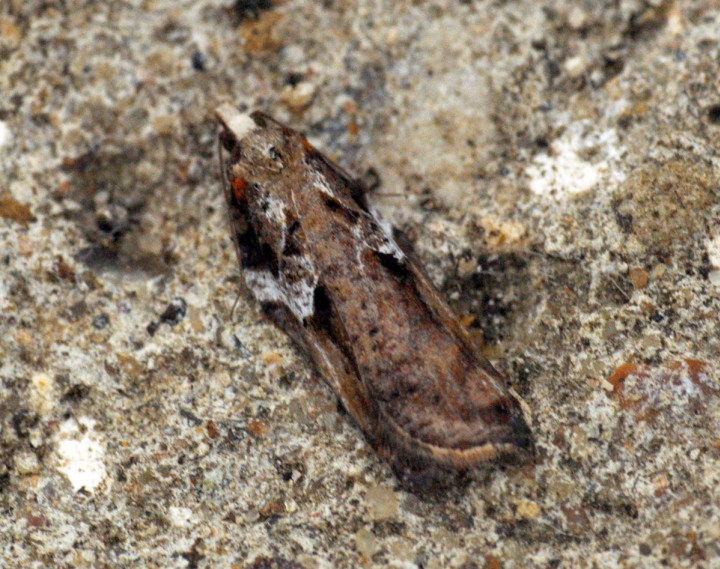 Acleris cristana 8 Copyright: Ben Sale