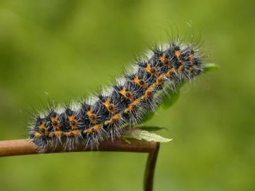 Emperor Moth (Caterpillar early instar) Copyright: Malcolm Riddler