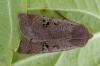 Black-spotted Chestnut Copyright: Ken Laban