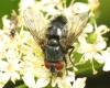 Epicampocera succincta male 20170804-8175 Copyright: Phil Collins