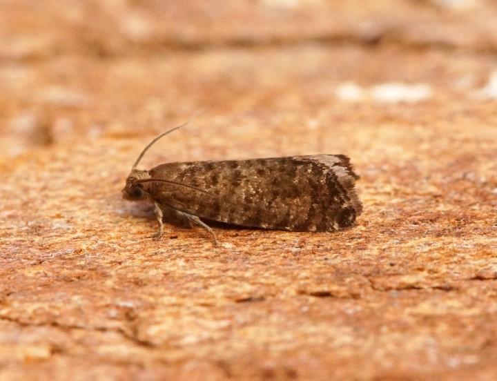 Epinotia nanana 1 Copyright: Ben Sale