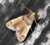 Meal Moth 14-08-2020 Copyright: Bill Crooks