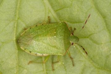 Nezara viridula Copyright: Peter Harvey