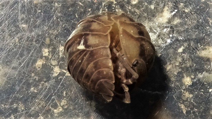Pill woodlouse rolled up Copyright: Raymond Small