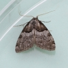 Nola cucullatella  Short-cloaked Moth 1 Copyright: Graham Ekins