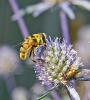Myathropa florea 4 Copyright: Graham Ekins