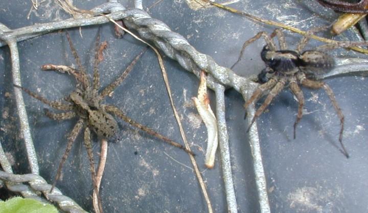 Pardosa amentata male and female Copyright: Unknown