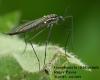 Gnophomyia viridipennis Copyright: Roger Payne