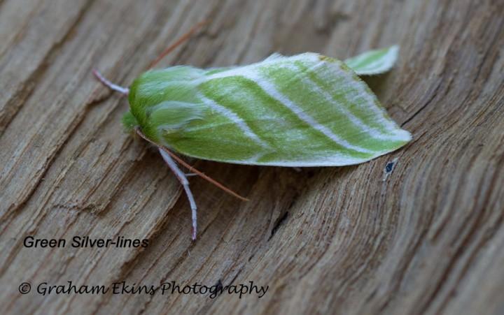 Pseudoips prasinana   Green Silver-lines 6 Copyright: Graham Ekins