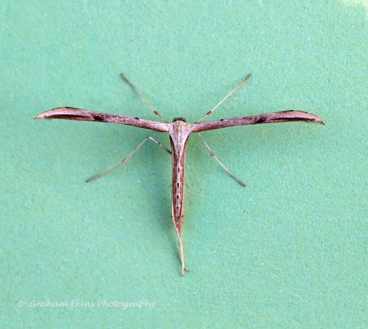 Emmelina monodactyla 4 Copyright: Graham Ekins