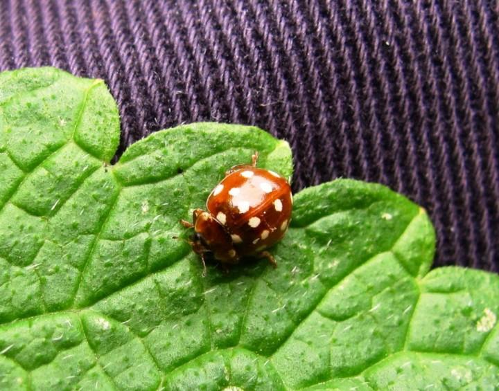 Cream Spot Ladybird Copyright: Graham Smith