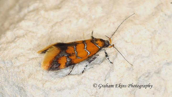 Promamactis procerella 7 Copyright: Graham Ekins