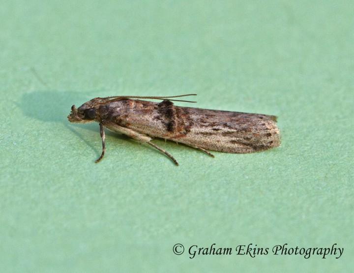 Nephopterix angustella 5 Copyright: Graham Ekins