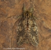 Great Prominent   Peridea anceps Copyright: Graham Ekins