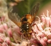 Tachina fera female 20150808-2966 Copyright: Phil Collins
