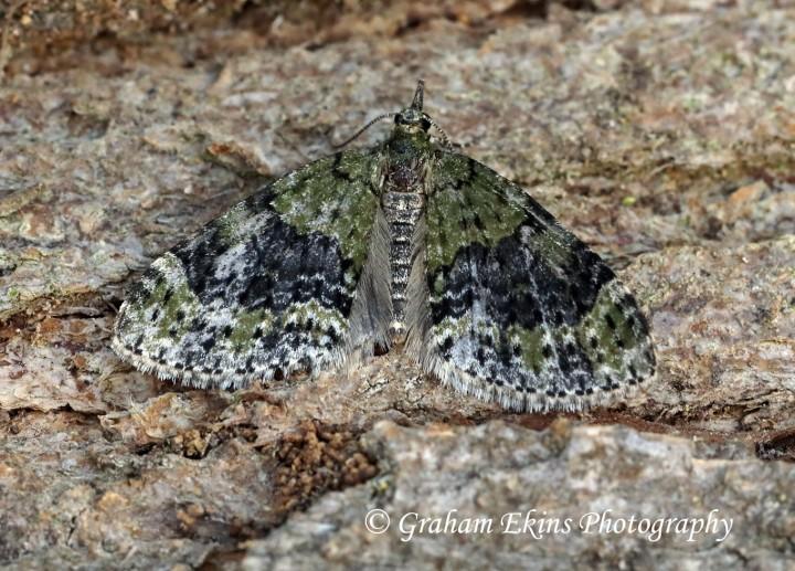 Acasis viretata  Yellow-barred Brindle Copyright: Graham Ekins
