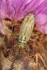 Oncotylus viridiflavus Copyright: Peter Harvey
