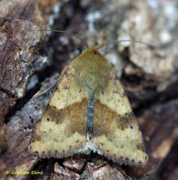Marbled Clover  Heliothis viriplaca Copyright: Graham Ekins