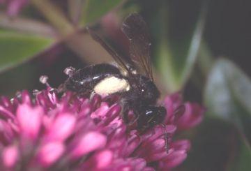 Andrena pilipes sens. str. Copyright: Peter Harvey