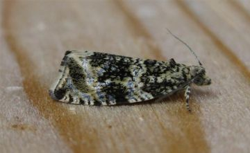Celypha lacunana. Copyright: Stephen Rolls
