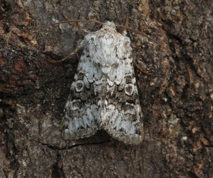 Hecatera bicolorata  Broad-barred White 1 Copyright: Graham Ekins