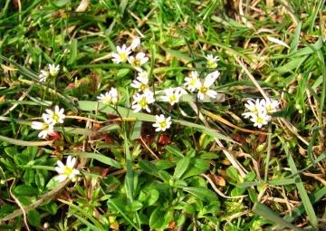 Common Whitlow Grass Copyright: Graham Smith
