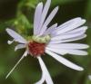 larva feeding on Michaelmas Daisy petals Copyright: Robert Smith