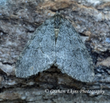 Epirrita autumnata     Autumnal Moth GD Copyright: Graham Ekins