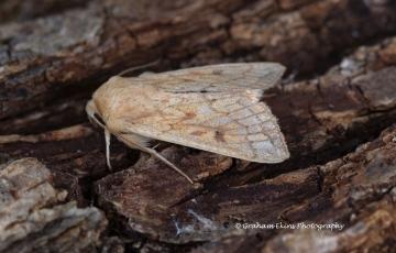 Delicate  Mythimna vitellina Copyright: Graham Ekins